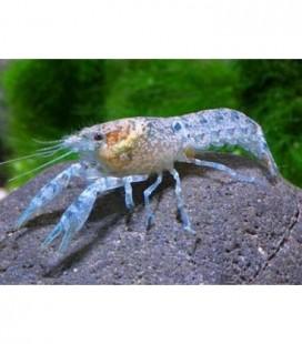 Cambarellus patzcuarensis blu