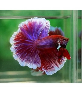 BETTA SPLENDENS HALF MOON OFF.
