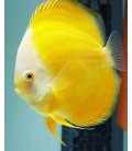 Discus Super Yellow 7/8cm