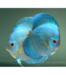 Discus Super Yellow 8/9cm