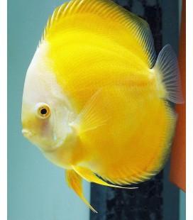 Discus Super Yellow 8/9 cm