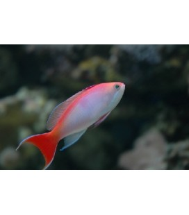ANTHIAS KASHIWA