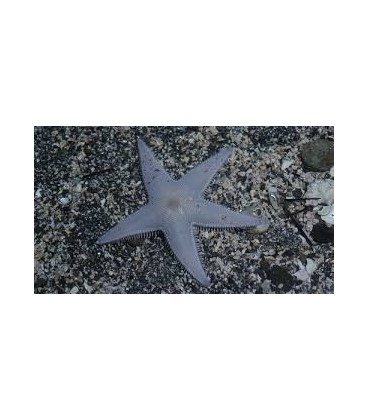 ASTROPECTEN SCOPARIUS