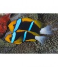 AMPHIPRION CHRYSOPTERUS