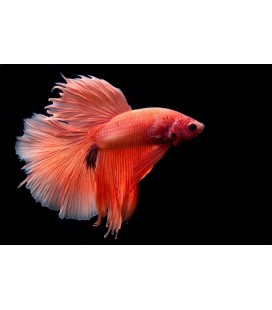 BETTA SPLENDENS MASCHIO *OFFERTA*