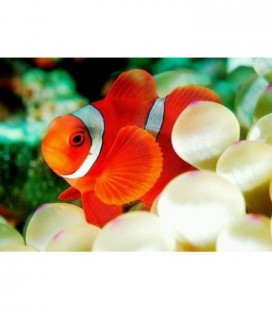 AMPHIPRION BIACULEATUS OFFERTA
