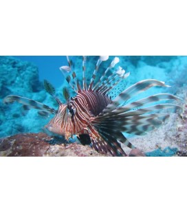 PTEROIS MILES - LARGE *OFFERTA*