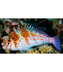 Cirrhithichthys oxycephalus