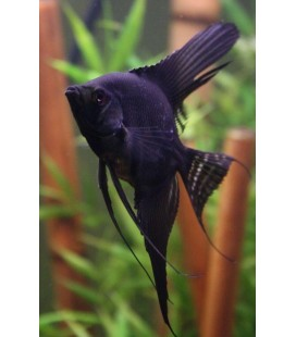 PTEROPHYLLUM SCALARE NERO PV - MEDIUM - *OFFERTA*
