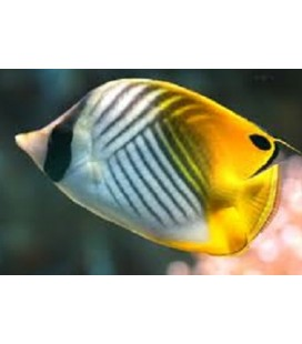 CHAETODON AURIGA (MEDIUM / LARGE) **OFFERTA**