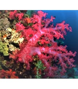 DENDRONEPHTHYA COLOR WILD