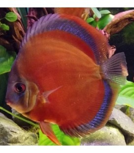 DISCUS RED ROSE 8/9 CM - *OFFERTA*