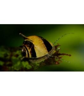 Clithon corona (neritina cornuta)