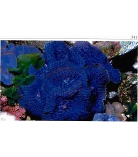 Rodachtis (Mushroom) med blue