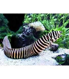 Echidna zebra
