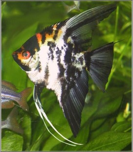 PTEROPHYLLUM SCALARE ASSORTITi - MEDIUM *OFFERTA*