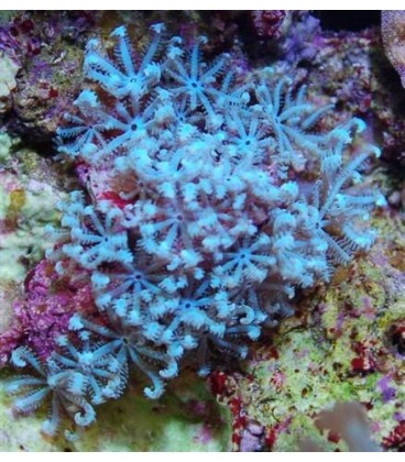 Anthelia coral