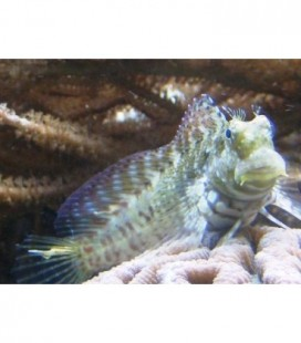 SALARIAS FASCIATUS (MEDIUM/LARGE) **OFFERTA**