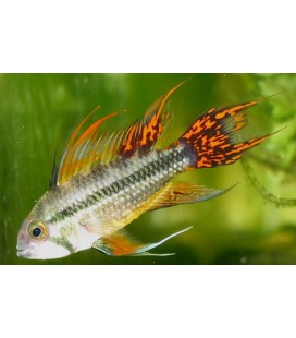 APISTOGRAMMA CACATUOIDES DOBLE RED OFF.