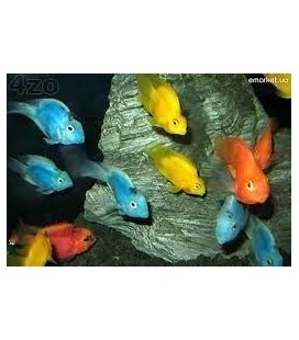 CICHLASOMA PARROT COLOR ASSORTITI 6/8CM OFFERTA