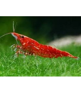 Caridina Red Cherry