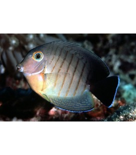 ACANTHURUS CHRONIXIS