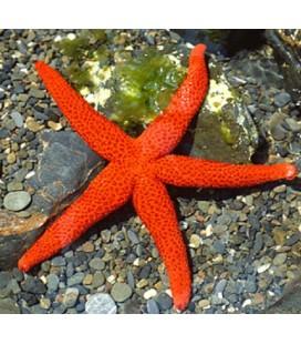 ECHINASTER PURPUREUS RED STAR