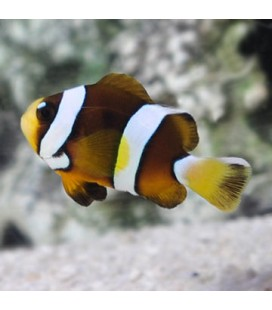 AMPHIPRION CLARKII (LARGE)