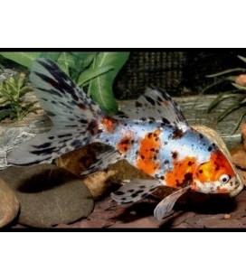 Pesce rosso SHUBUNKIN CM 5/7