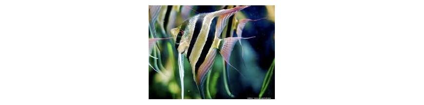 Pesci tropicali acqua dolce punto tropicale for Pesci acqua dolce commestibili
